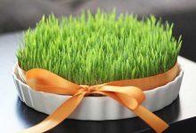 طرز تهیه سبزه گندم برای عید